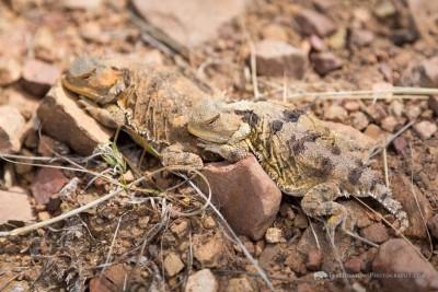 Desert Reptile Awareness- Hike