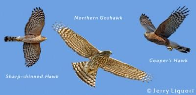 HawkWatch Accipiter Field Trip