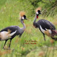 primary-Great-Salt-Lake-Audubon-Monthly-Birds-and-Bites-Program--Shoebills--Cranes--and-Gorillas-1486181070