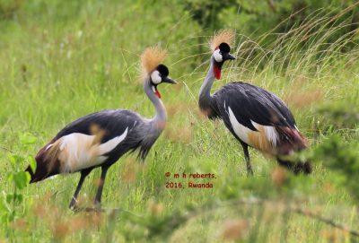 Birds 'n Bites: Shoebills, Cranes, Gorillas - Travel adventures in Rwanda and Uganda