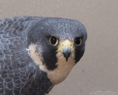 Parade of Raptors at the Bountiful Library