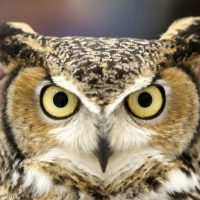 Parade of Raptors at the Centerville Library