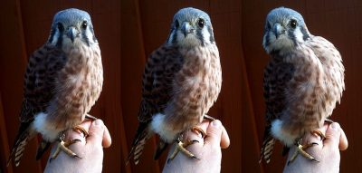 Parade of Raptors at the Kaysville Library