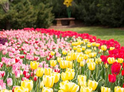 tulip festival coupons 2019