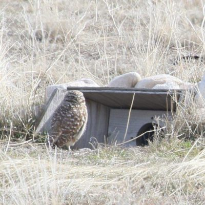 Great Salt Lake Audubon Birds and Bites Presents Burrowing Owls