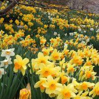 Red Butte Garden Bulbs & Blooms