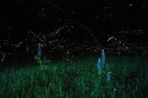 Christy Bills / Utah Fireflies