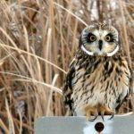 Short-eared Owl Grid Survey Training