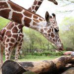 The Woman Who Loves Giraffes - POSTPONED