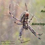 Antelope Island Spider Fest 2020