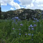 Wasatch Wildflower (Virtual) Festival 2020