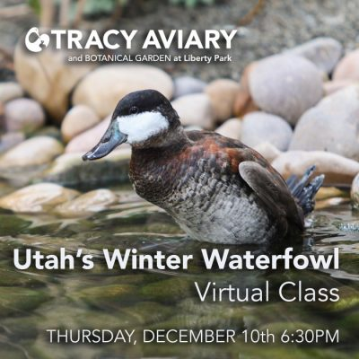 Utah's Winter Waterfowl: Virtual Class
