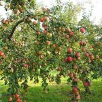 Pruning Fruit Trees- VIRTUAL