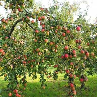 Pruning Fruit Trees- VIRTUAL