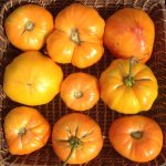 Webinar: Growing Great Tomatoes - Fundamentals, Variety and Flavor