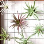 Air Plants and Air Plant Displays - VIRTUAL