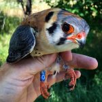 Raptors in our Backyard: Benefits, Challenges, and Opportunities for Citizen Science