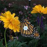 Milkweed for Monarchs - VIRTUAL