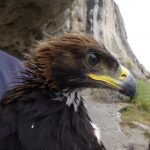 Protecting Scavenging Eagles from Vehicle Strikes
