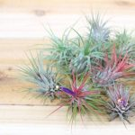 Air Plants and Displays