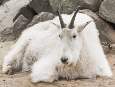 MOUNTAIN GOAT VIEWING WITH UTAH DIVISION OF WILDLI...