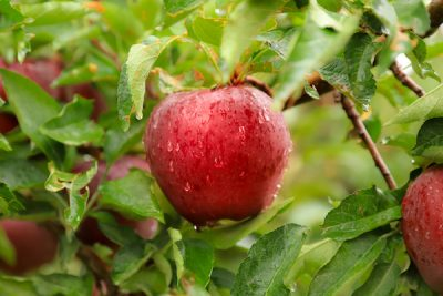 Rowley's Red Barn Apple Harvest Festival 2021