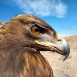 Sounding the Alarm: How Migration Data Alerted to Declines in Golden Eagle with Dr. Steve Slater